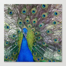 Mr. Peacock Canvas Print