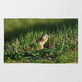 Thirteen-lined Ground Squirrel Eating - Photography Rug