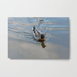Mallard duck swimming in a turquoise lake 1 Metal Print