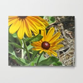 Black-eyed Susans and a Busy Bee Metal Print