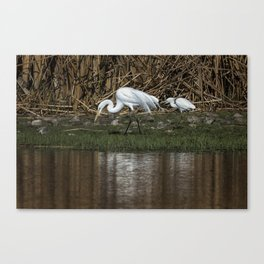 Great and Snowy Egrets, No. 2 Canvas Print