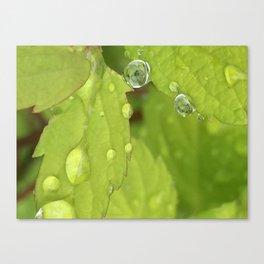 Spiraea Leaves Rain Drops Canvas Print