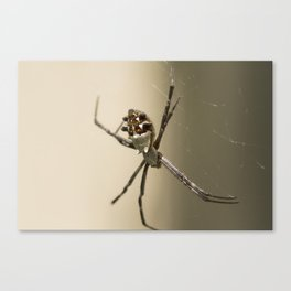 Silver Back Spider Canvas Print