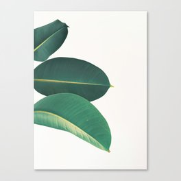 Rubber Fig Leaves II Canvas Print