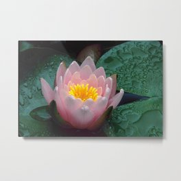 Raindrops on Water Lily  Metal Print