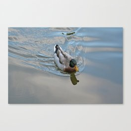Mallard duck swimming in a turquoise lake 1 Canvas Print