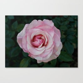 A rose from the mission gardens Canvas Print