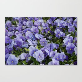 Pansy flower Canvas Print