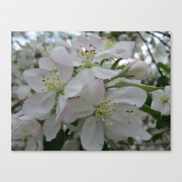 White Spring Blossom Canvas Print