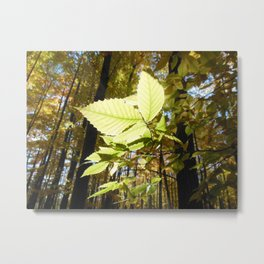 Fagus grandifolia Metal Print
