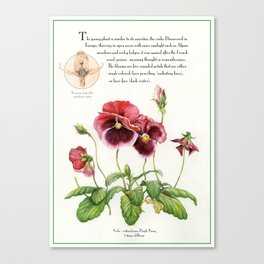 Pansy Flower - botanical illustration Canvas Print