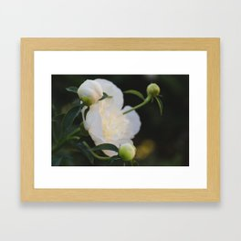 Portrait of a Peony at Dawn - Floral Photography Framed Art Print