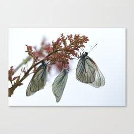 black-veined white butterflies Canvas Print