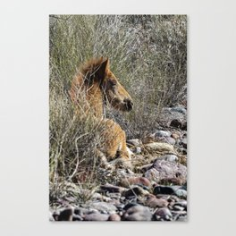 Salt River Foal Finding A Spot to Rest Canvas Print