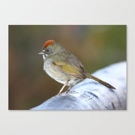 Green-tailed Towhee Canvas Print