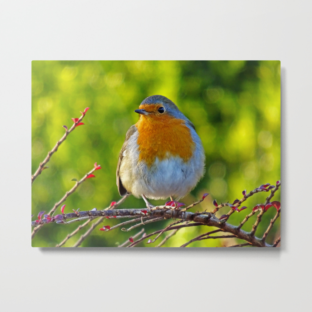 Robin Redbreast Metal Print by Catherineogden (MTP8331014) photo