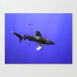 Oceanic Whitetip with Pilot Fish Canvas Print