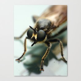 Robber fly Canvas Print