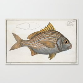 Vintage Illustration of an Yellow-Fin Grunt (1785) Canvas Print