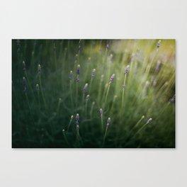 Blooming Lavender Canvas Print