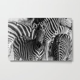 Zebras in Black and White Metal Print