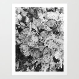 Winter Hydrangea in Black and White Art Print