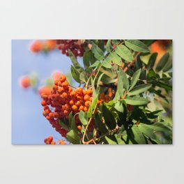 Bunch of rowan Canvas Print