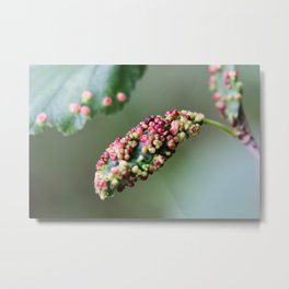 Alder leaf with pink boils Metal Print