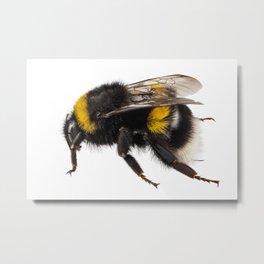 Bumblebee species Bombus terrestris Metal Print