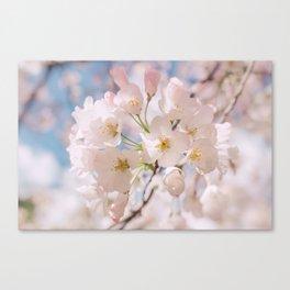 White Spring Cherry Trees Blossom Canvas Print
