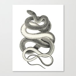 snake vintage style print serpent black and white 1800's Canvas Print
