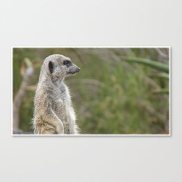 Meerkat Gaze Canvas Print