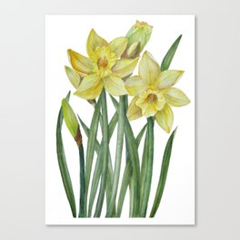 Watercolor Daffodils Botanical Illustration Canvas Print