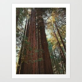 Redwood Trees Art Print