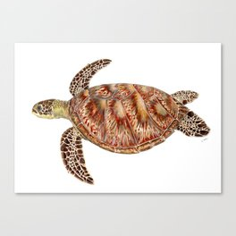 Green turtle Chelonia mydas Canvas Print