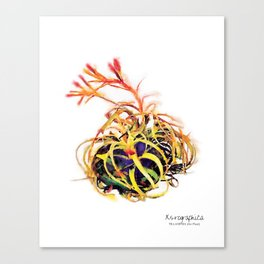 Tillandsia Xerographica Air Plant Watercolor Canvas Print