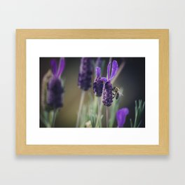 Lavender Blooms, Bee Photography, Nature Photography, Flower Photography, Floral Print, Nature Print Framed Art Print