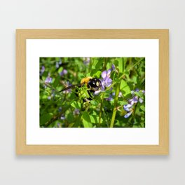 Bumble bee pollination Framed Art Print