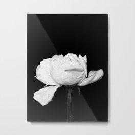 White Peony Black Background Metal Print