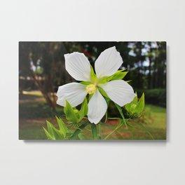White Swamp Hibiscus Metal Print