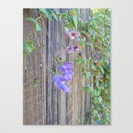 Snail vine on fence Canvas Print