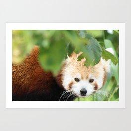 Red Panda Watching Art Print