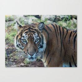 Tiger, Tiger Canvas Print