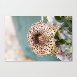 Stapelia Flower 3 Canvas Print
