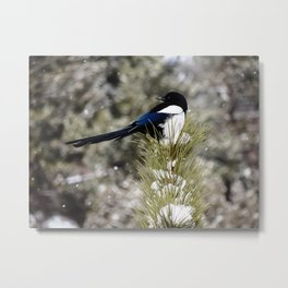 Black-billed Magpie Metal Print