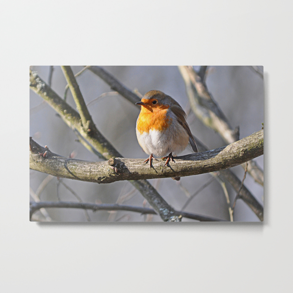 Robin Redbreast Metal Print by Pirminnohr (MTP915575) photo