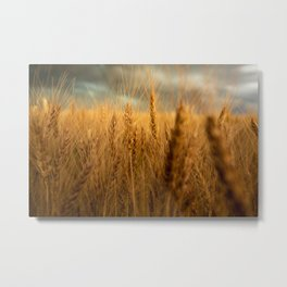 Harvest Time - Golden Wheat in Colorado Field Metal Print