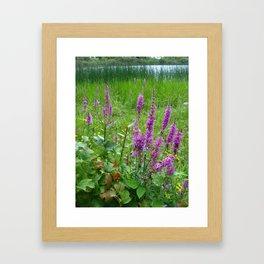 Purple loosestrife Framed Art Print