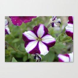 Purple and White Petunia Canvas Print