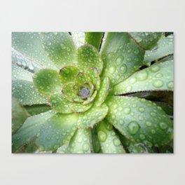 Succulent Rain Drops Canvas Print
